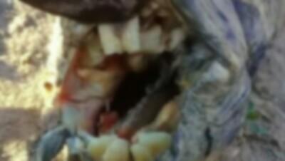 アルゼンチンの歯を持つ謎生物.jpg