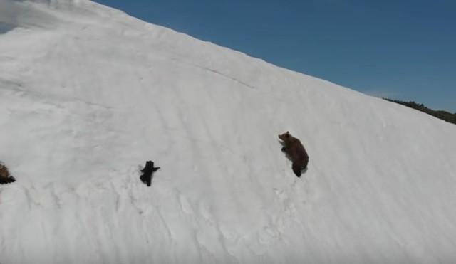 クマが雪面を滑る崖から落ちる.jpg