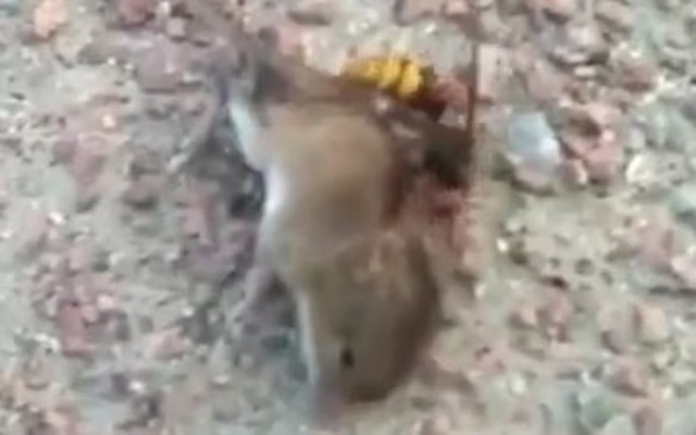スズメバチがネズミを襲う.jpg