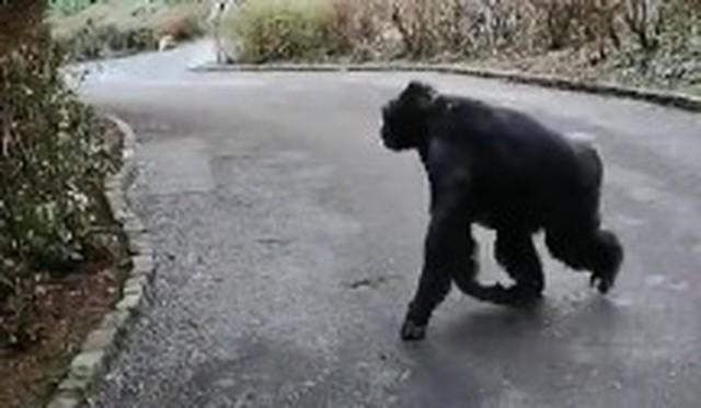 チンパンジーの脱走.jpg