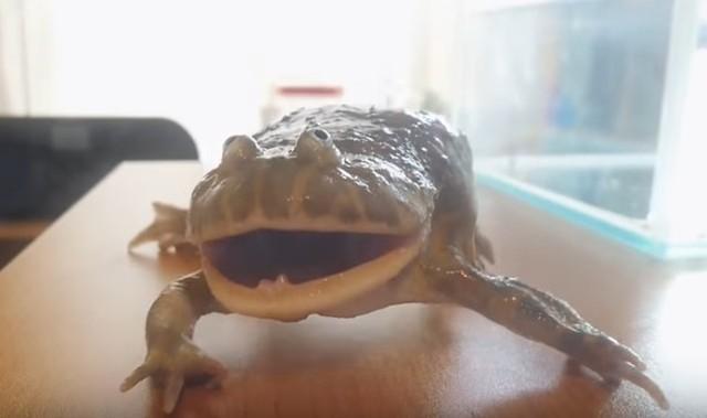 バジェットガエルの鳴き声が凄すぎ怪獣.jpg