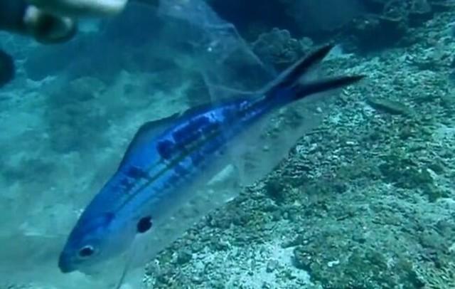 ビニール詰めの魚の救出.jpg