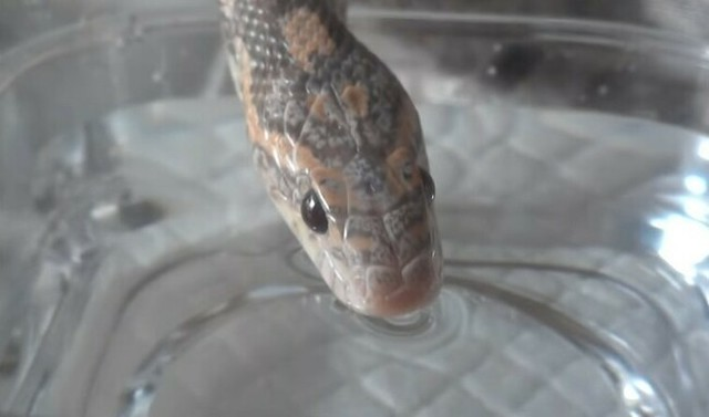 ヘビの水の飲み方サムネ.jpg