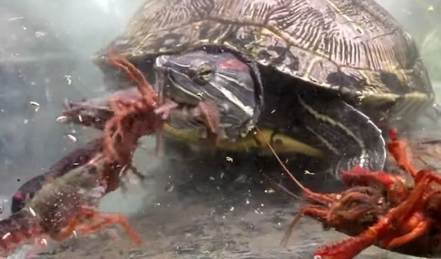 亀のザリガニの捕食.jpg