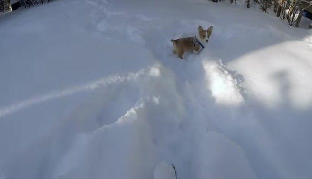 コーギーの雪中行軍