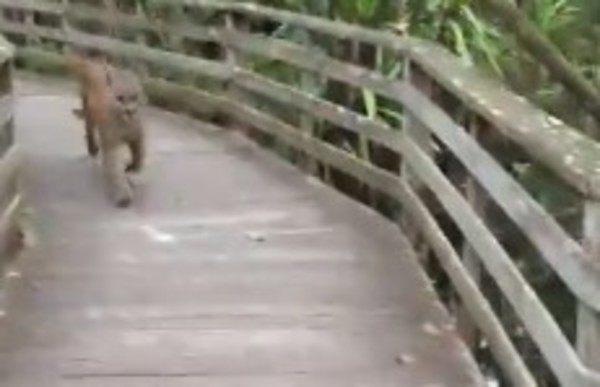 国立公園でクーガーに遭遇