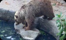 クマがカラスを助ける
