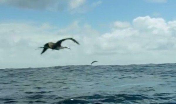 トビウオが飛んで逃げるも凄い映像 (1)
