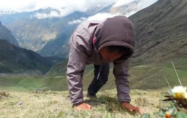 冬虫夏草の取り方