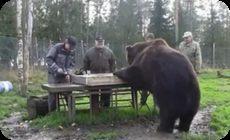 クマの体重測定