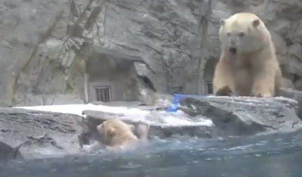 我が子の危機に助けに来る母熊シロクマ