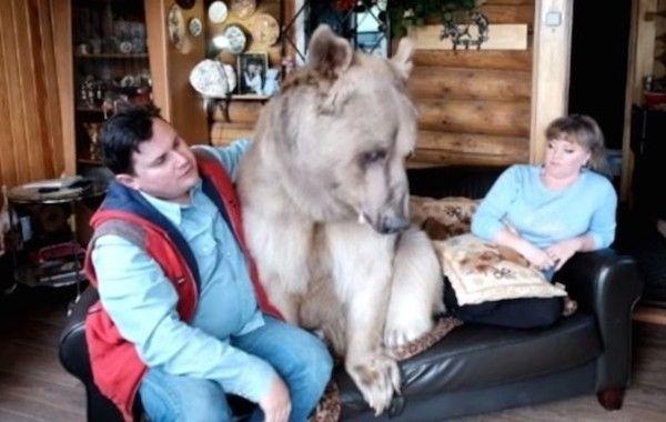 ロシアのクマ飼い