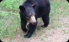 クマに追跡されるジョガー