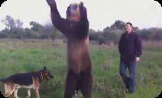 クマの調教