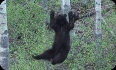 クマの運動能力