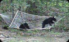 ハンモックとクマ