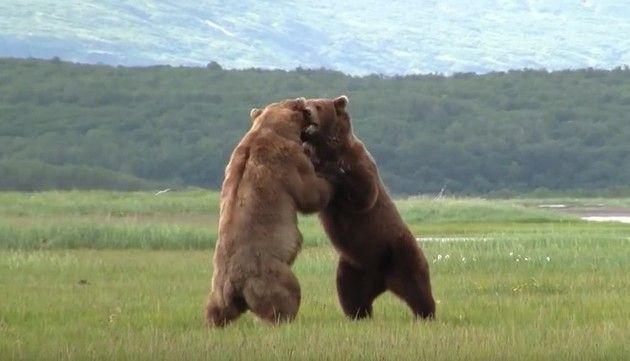 クマ、グリズリーの戦い