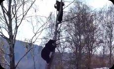 ロシアのクマが木に登って追いかけてくる