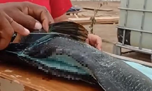 これが本当の青魚。青身魚.png