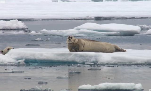 アザラシを狩る白クマ.jpg