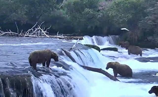 アラスカのライブカメラ、熊が鮭を取る.jpg