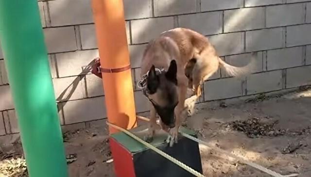 イヌのパルクール。アジリティ.jpg