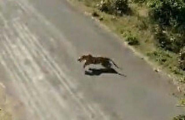 インドで野生のトラが発生.jpg