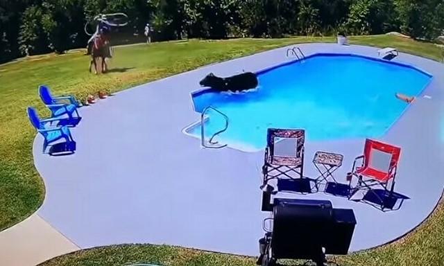 ウシをプールに追い詰めたイヌとカウボーイ.jpg