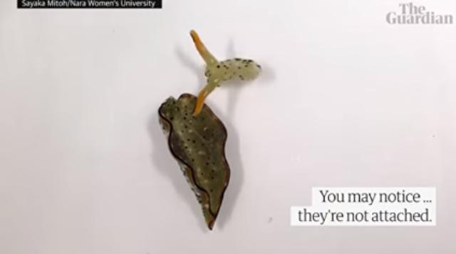 ウミウシは頭部だけになっても新しい体が再生される.png
