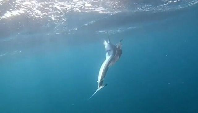 カジキを釣ったらサメが付いてきた.jpg