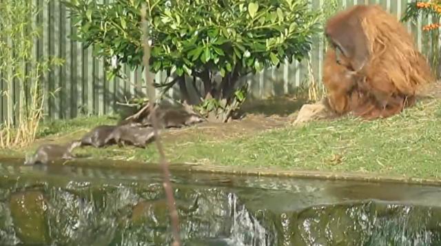 カワウソからの攻撃にオランウータンは竹の棒で.png