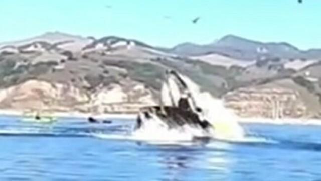 クジラに食べられたカヤッカー.jpg