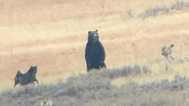 クマがオオカミに襲われる.jpg