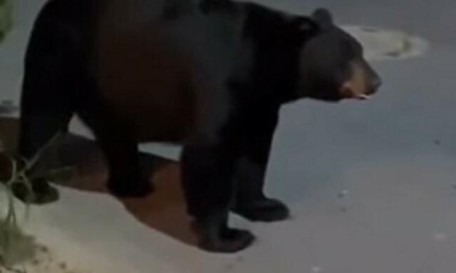 クマに立ち向かうチワワ.jpg