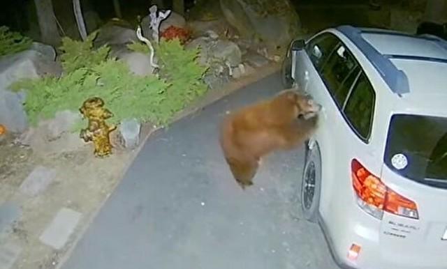 クマは普通にクルマのドアを開ける.jpg
