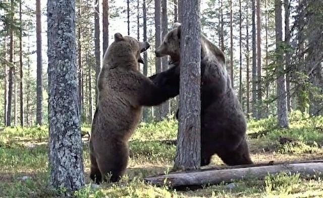 クマ同士のケンカとクマに襲われた人の自撮り映像.jpg