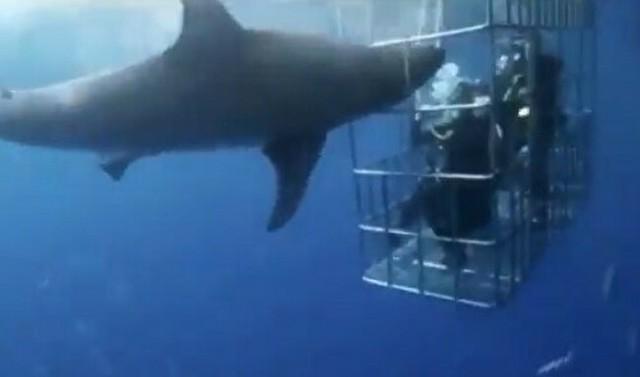 ケージで鰓を切り死亡するサメ.jpg