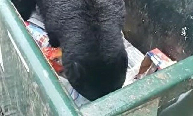 ゴミをあさるクマを接写.jpg