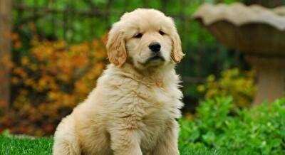 ゴールデンレトリバーとかいう犬、どう見てもアホ.jpg