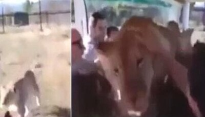 サファリパークでライオンがバスの中に飛び込んできた結果・・・(動画).jpg