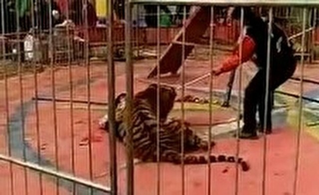 サーカスのトラが調教師を襲う中国?.jpg
