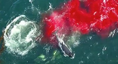 シャチに狙われたら絶対に逃げられないという事がよく分かる映像 南大西洋沖.jpg