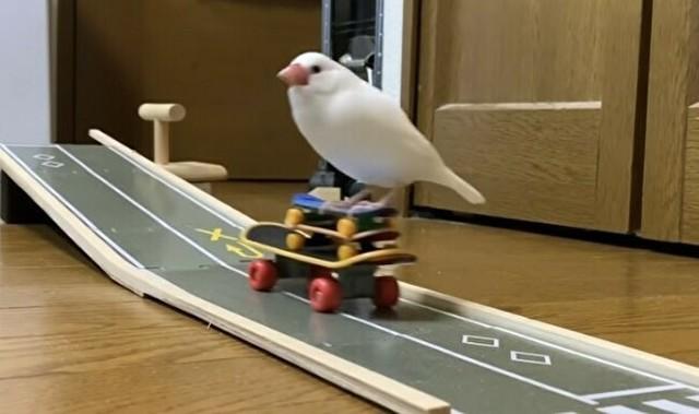 スケボーで遊ぶ文鳥.jpg