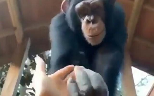 チンパンジーに手を引かれて。.jpg