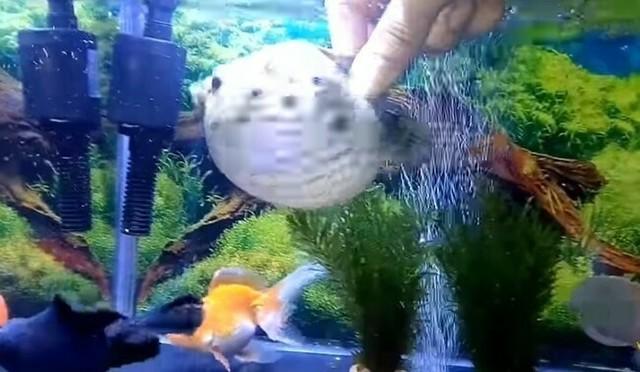 フグが膨らむ金魚水槽.jpg