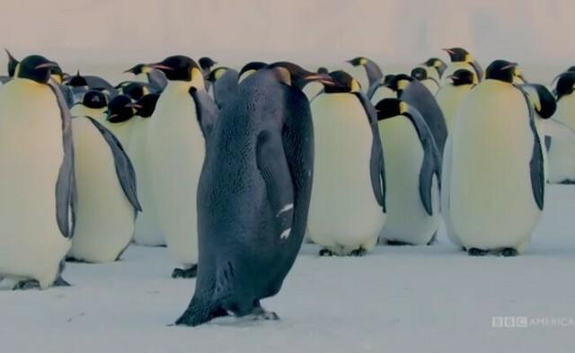 ブラックコウテイペンギン.jpg