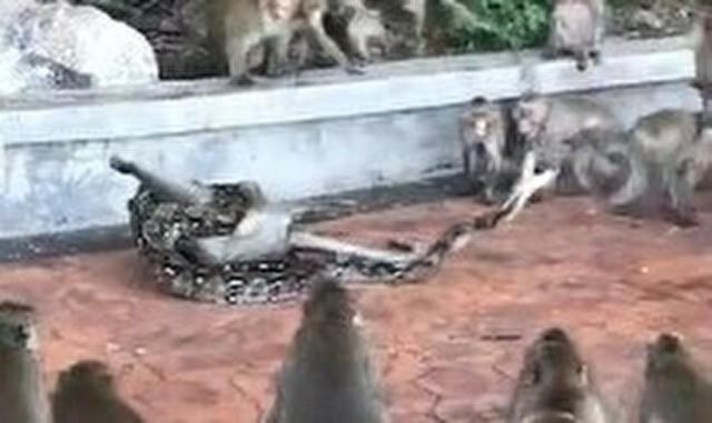 ヘビに襲われたサルと仲間たち.jpg