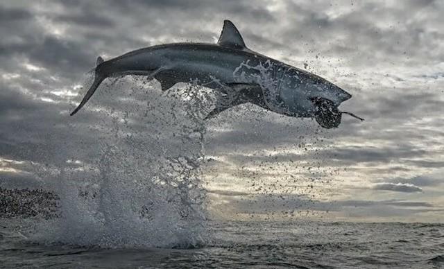 ホホジロザメの大ジャンプ.jpg