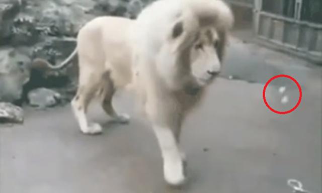 ホワイトライオンがシャボン玉に驚く.png