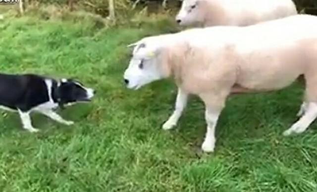 ボーダーコリーと羊の対峙.jpg